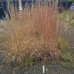 Schizachryium scoparium